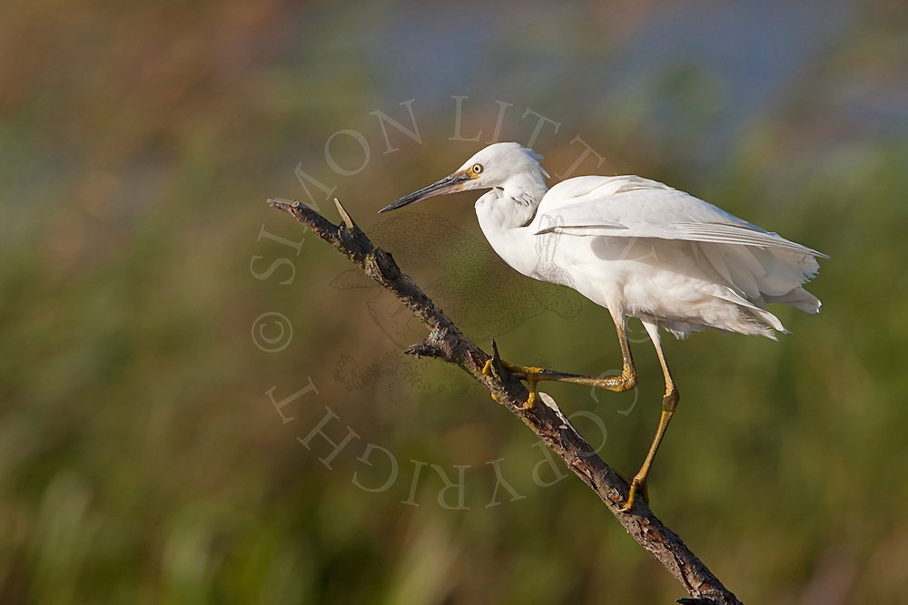 Little Egret (Egretta garzetta) adult perched on stick, Norfolk, UK.