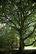 A large Copper Beech (Fagus sylvatica) tree is one of the centrepieces in the English Park section of the grounds at Solliden Palace, on the east coast island of Öland in Sweden. Solliden is one of the summer residences of the Swedish Royal family and a large part of the gardens and grounds are open to the public.
