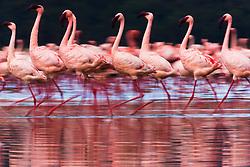 A motion-blur of a flock of Lesser flamingos (Phoenicopterus ruber ) walking through and reflected in the water of Lake Nakuru, Lake Nakuru, Kenya