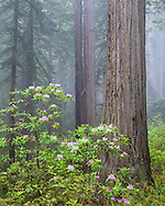 Rhododendron grows throughout a redwood forest shrouded in fog, Del Norte Redwoods State Park