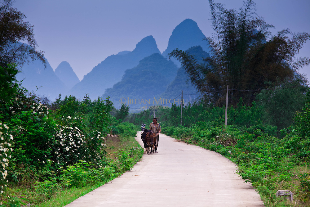 A farmer walks his cows home after a long days work in the fields near Yangshuo.