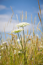 Wild carrot in the Wild Flower Meadow. Daucus carota. Bird's Nest, Bishop's Lace, Queen Anne's Lace