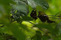 Wire-tailed Manakin (Pipra filicauda).female on nest..Tiputini Biodiversity Station, Amazon Rain Forest, Ecuador.