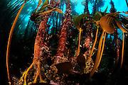 Kelp forest mostly Laminaria hyperborea, but the smaller brown algae on the right is Oarweed (Laminaria digitata), Atlantic Ocean, Strømsholmen, North West Norway | Ein Kelpwald oder Algenwald, der  hauptsächlich vom Palmentang (Laminaria hyperborea) links im Bild und Fingertang (Laminaria digitata) rechts im Bild gebildet wird. Strømsholmen, Norwegen