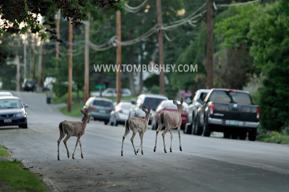 Middletown, New York - Three white-tailed deer cross a suburban street early on a summer morning. June 2, 2011.