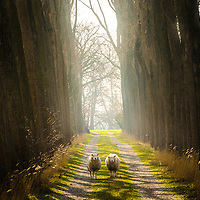 Two beautiful sheep staring eerily on a glorious path. Taken in the Netherlands.