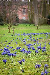 Iris 'Harmony' (Reticulata) AGM planted in the grass at Dunham Massey