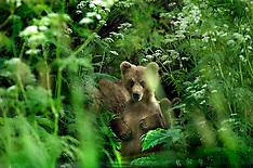 Russia:Kamchatka Bears