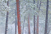 Ponderosa Pine Forest in Winter, Grand Canyon AZ.