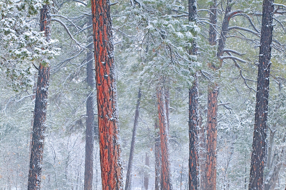 ponderosa pine forest in winter Grand Canyon AZ.