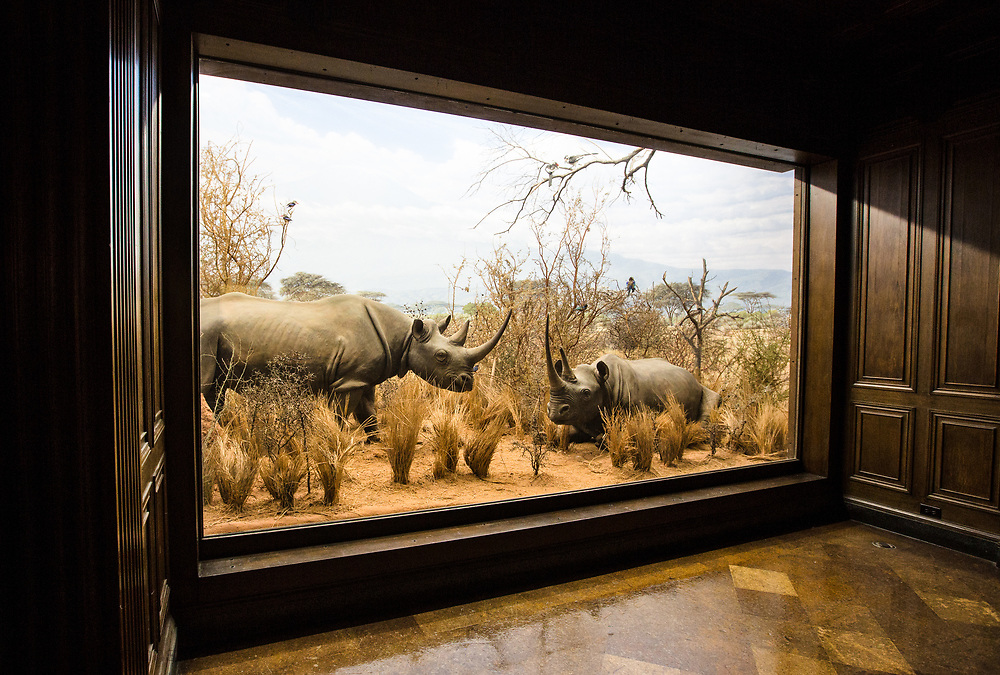 Rhinoceros diarama at the  Natural History Museum of Los Angeles County