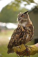 Old Westbury, New York, U.S. - August 23, 2014 - AUGIE, a 4-year-old male Eurasian Eagle Owl (Bubo bubo) with large orange eyes, is from WINORR, Wildlife in Need of Rescue and Rehabilitation, at the 54th Annual Long Island Scottish Festival and Highland Games, co-hosted by L. I. Scottish Clan MacDuff, at Old Westbury Gardens. WINORR is run by the Horvaths, licensed animal rehabilitators in North Massapequa.