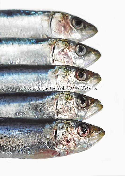 Fresh Sardines, sardina sp. against white Background