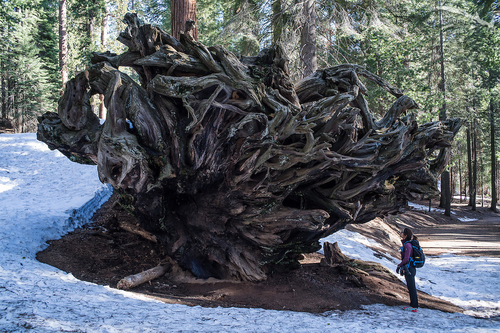 Fallen sequoia tree. Sequoia National Park, California. (with Nana Trongratanawong)