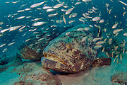 Goliath Grouper Epinephelus itajara surrounded by cigar minnows Decapterus punctatus during a spawning aggregation in Palm Beach, Florida. Endangered
