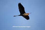 00694-00216 Reddish Egret (Egretta rufescens) in flight    FL