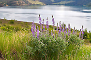 Lupines flowering at Kekuli Bay Provincial Park on Kalamalka Lake near Vernon, British Columbia, Canada