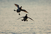 Canvasbacks, Aythya valisineria, pair, Chesapeake Bay, Maryland