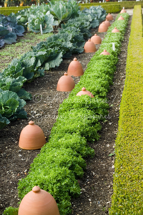Gopsall Pottery forcing pots with Endive 'Marios' and cabbages in the Vegetable Garden at West Dean Gardens, West Sussex, England