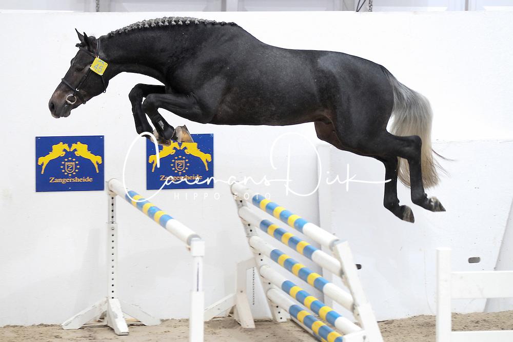 Levisto Alpha ZLevisto Alpha Z<br /> Stallion selection Zangersheide - Lanaken 2012<br /> © Hippo Foto - Counet Julien