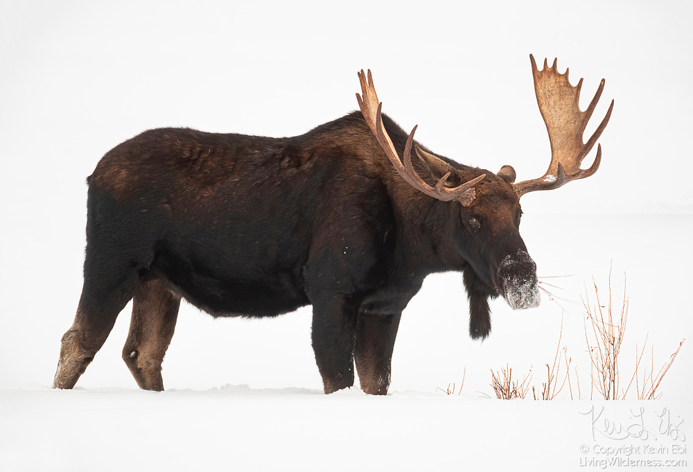 A large moose (Alces alces) feeds on shrubs in the snow near Pebble Creek in Yellowstone National Park, Wyoming. Moose, which are known as elk in Eurasia, have thick skin and other features that make them well-adapted for cold weather.