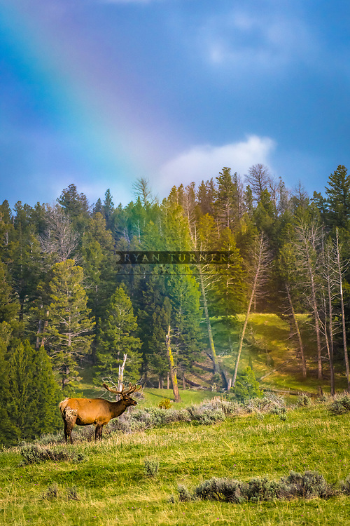 Spring in Yellowstone National Park. Bull Elk in Velvet and a rainbow.