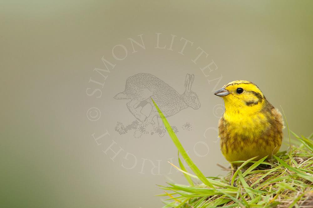 Yellowhammer (Emberiza citrinella) adult on grass bank, Norfolk, UK.