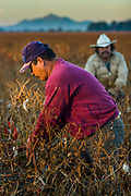 08 DECEMBER 2004 - MARANA, AZ: Migrant farm workers harvest Sonora chilies on the Clark Farm in Marana, Arizona. Tom Clark planted 50 acres of chilies on his cotton farm for the first time this year and said he expects to net three times per acre what he would have had he planted cotton. This is the first time chilies have been grown around Marana, which is the heart of the Arizona cotton industry. The chilies will be processed in Las Cruces, NM, and turned into paprika powder, food dye and lipstick. It will take a crew of 45 about 10 days to harvest the 50 acres of chilies. PHOTO BY JACK KURTZ