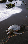 Hawksbill turtle, Punaluu Black Sand Beach, Big Island of Hawaii, Hawaii