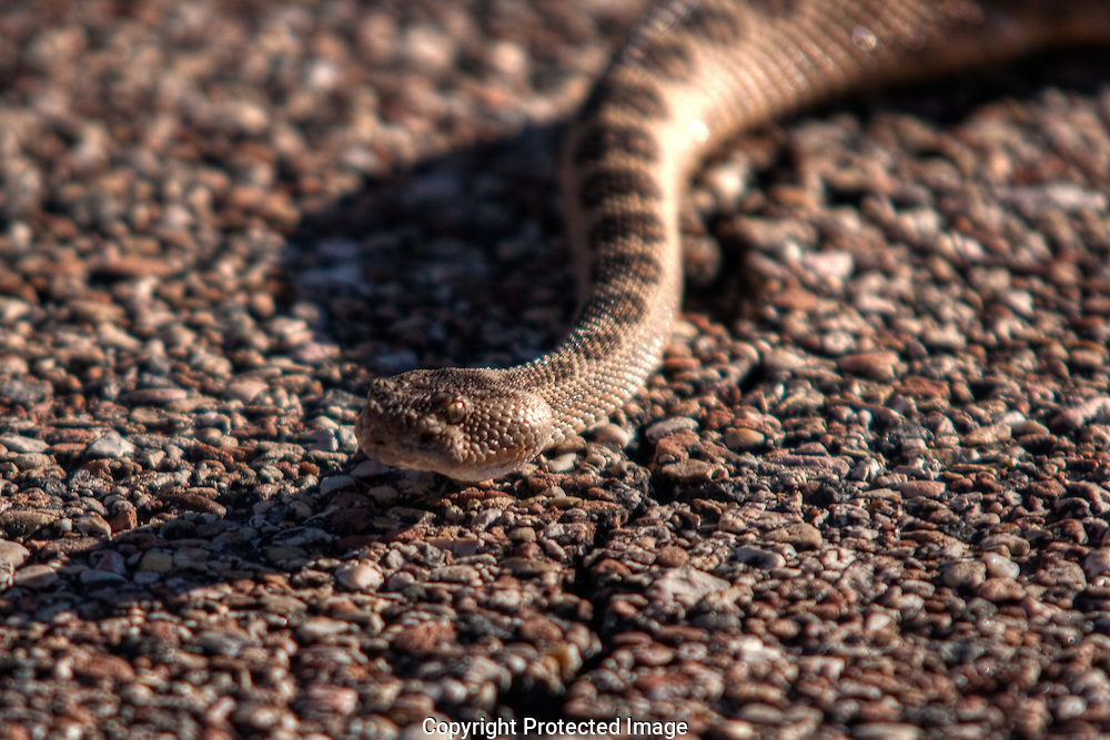 I was on my elbows and knees,crawling backwards, in front of this aggressive Mojave when it turned toward me and  Darnell yelled that the snake was only a couple of feet in front of the lens headed toward me and I needed to move quickly, which I did, as seen in the next image.