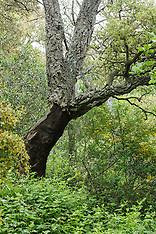 Eiken, Quercus