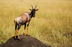 A topi (Damaliscus korrigum) standing on a termite mount in the Masai Mara, Masai Mara, Kenya