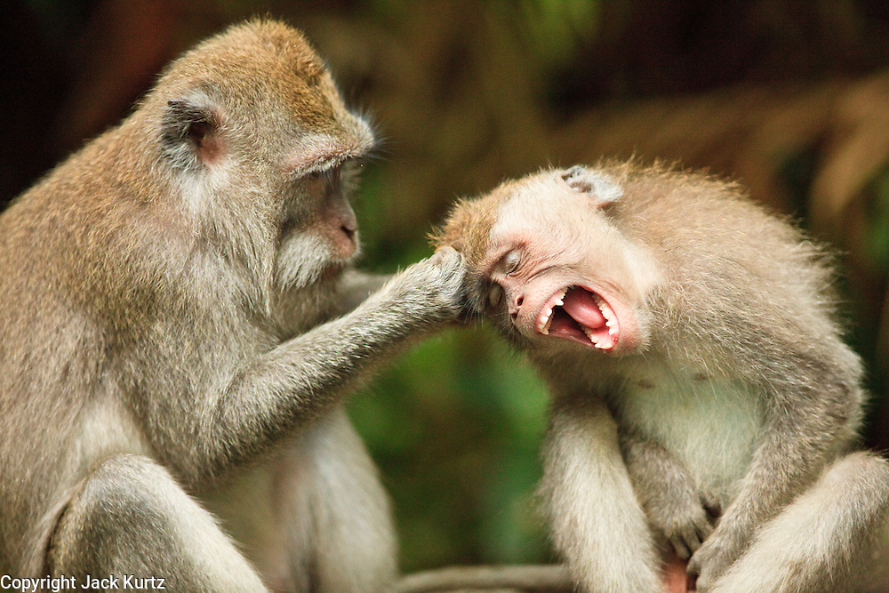 Apr. 21 - UBUD, BALI, INDONESIA: Long tail macaques groom each other in the Monkey Forest in Ubud, Bali. Hundreds of long-tailed macaques (Macaca fascicuiaris) live in the forest, which is also the site of several Hindu temples and is sacred in Bali society.  Photo by Jack Kurtz/ZUMA Press