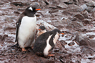 Gentoo penguin parent with chicks standing in mud, Pygoscelis papua, Antarctica