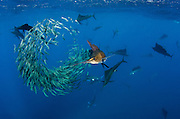 Atlantic Sailfish (Istiophorus albicans) hunting Sardines<br /> Isla Mujeres<br /> MEXICO<br /> RANGE: Atlantic Oceans & Caribbean SEa