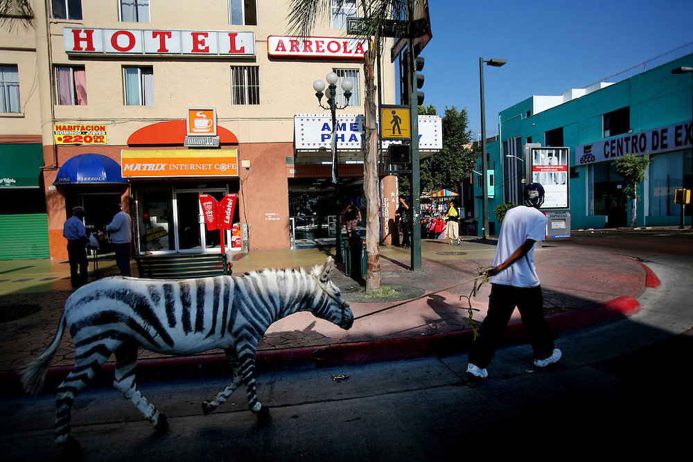 TIJUANA, MEXICO: A Zebra striped burro walks along Ave. Revolucion in Tijuana, Mexico.