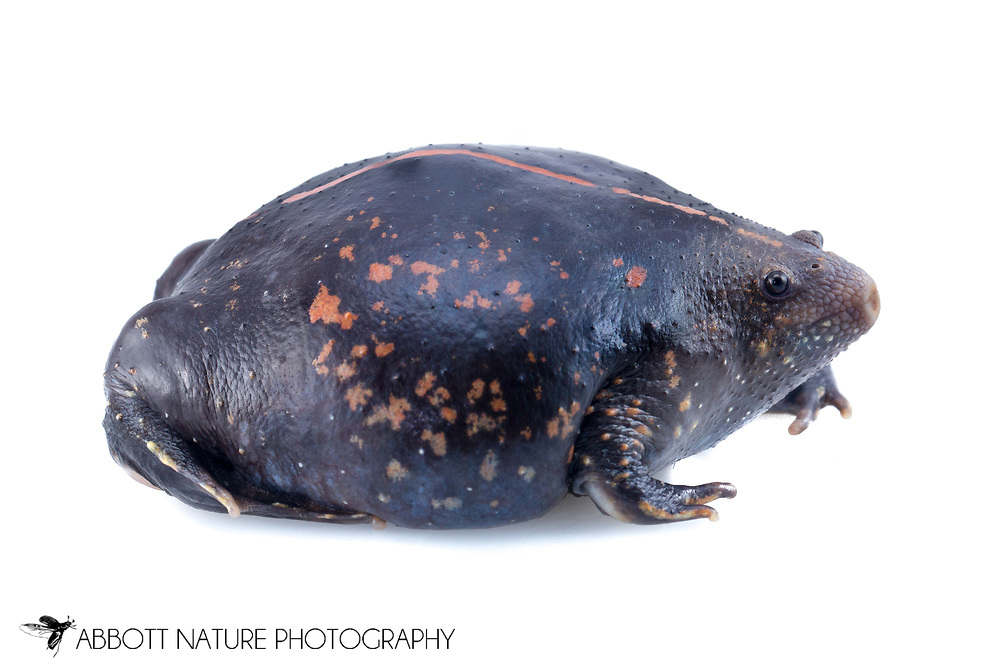Mexican burrowing toad (Rhinophrynus dorsalis)<br /> BELIZE: Cayo District <br /> Ian Anderson's Caves Branch Lodge near Armenia<br /> 7-Sep-2014<br /> J.C. Abbott &amp; K.K. Abbott