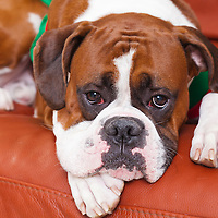 Boxer dog resting on red couch