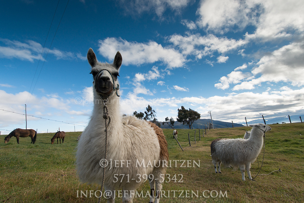 Llamas and horses graze at sunrise high up in the Andes of Ecuador.