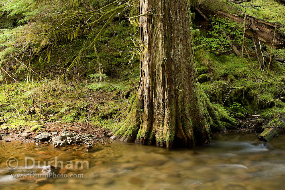 A western red cedar (Thuja plicata) trunk growing from the bank of Panther Creek. Wind River Experimental Forest, Washington.