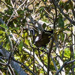 """""""Jacutinga-de-garganta-azul (Aburria cumanensis) fotografado em Corumbá, Mato Grosso do Sul. Bioma Pantanal. Registro feito em 2017.<br /> <br /> <br /> <br /> ENGLISH: Blue-throated Piping-Guan<br />   photographed in Corumbá, Mato Grosso do Sul. Pantanal Biome. Picture made in 2017."""""""