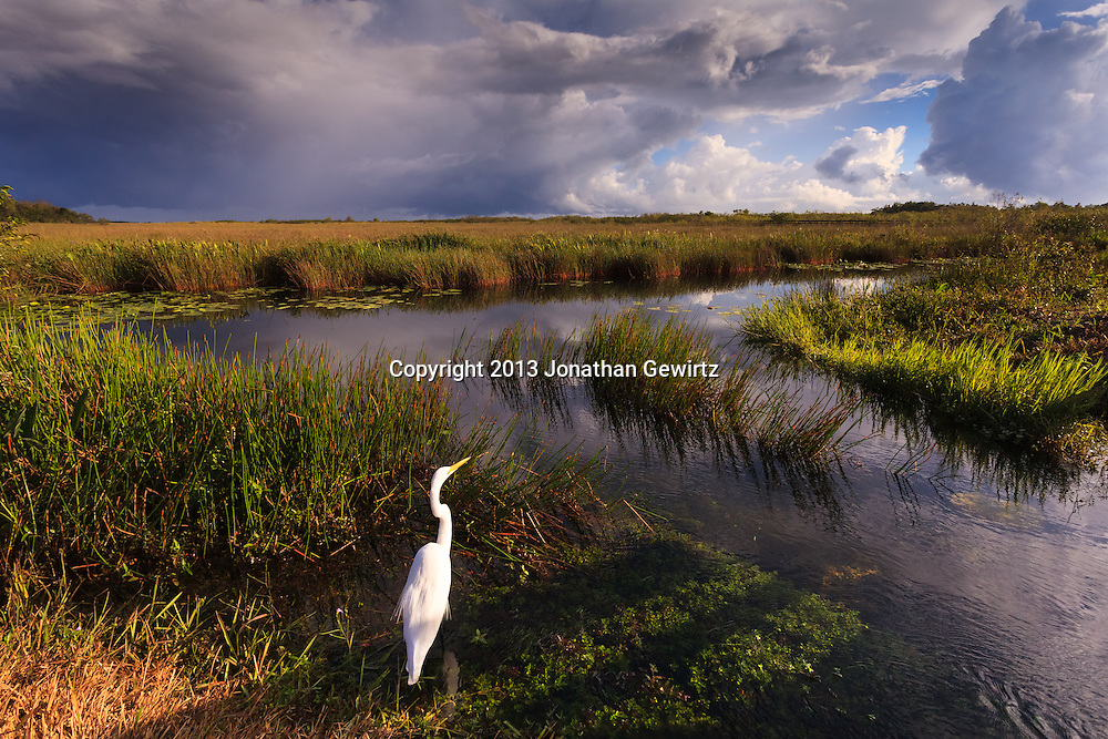 On a stormy day, a Great Egret (Ardea alba) hunts on the canal edge on the Anhinga Trail in Everglades National Park, Florida. WATERMARKS WILL NOT APPEAR ON PRINTS OR LICENSED IMAGES.<br />