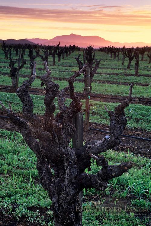 Sunrise over barren vineyard in winter, along Dry Creek Road, Sonoma County, California