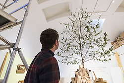 A huge cherry tree fills the interior of an Edinburgh gallery as part of an anarchic new show. <br /> <br /> Standing more than eight metres tall and scraping the ceiling of the University&rsquo;s Talbot Rice Gallery, the tree is the centrepiece of acts of display, a new exhibition from Glasgow-based artist Rob Kennedy.<br /> <br /> The tree was sourced from Edinburgh&rsquo;s Inverleith Park. Over the course of the show the leaves will fall and litter the indoor space. <br /> <br /> The work is a response to two paintings owned by the University, one by David Teniers called Peasants Playing Bowls and a second anonymous copy which is missing a tree and a male figure from the original.<br /> <br /> Pictured: Stuart Fallon, Assistant Curator, Edinburgh University Talbot Rice Gallery