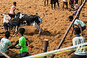 A man is gored during the Palamadu Jallikattu. In six years from 2008 – 2014  43 people died after being gored by a Jallikattu bull and more than a thousand were seriously injuried.