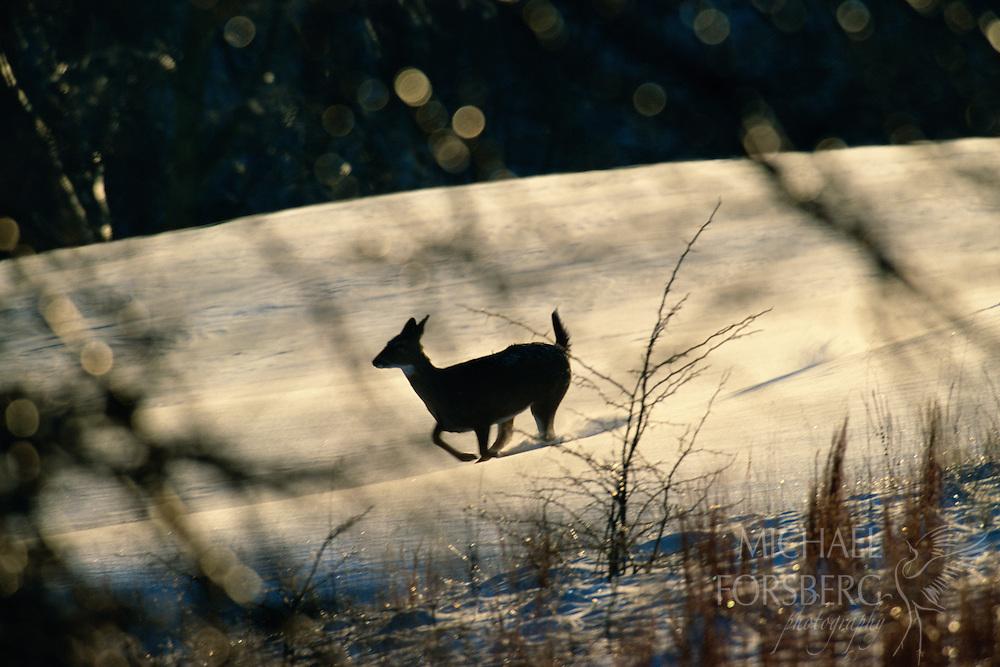 White-tailed deer runs across the snow. Cass County, Nebraska.