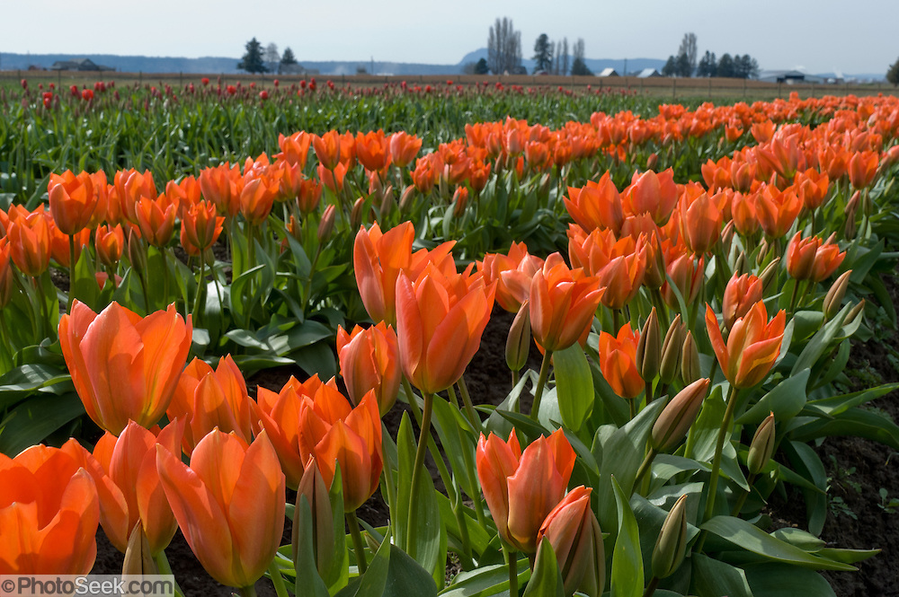 Reddish-orange tulip flowers bloom in the Skagit River Delta, Washington, USA between the towns of Mount Vernon and La Conner.