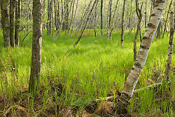 Paper birch trees, Betula papyrifera, on the edge of Great Meadow near Sieur de Monts Spring in Maine's Acadia National Park.  Jessup Path.