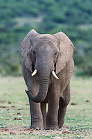 Young African Elephant bull walking away from water, Addo Elephant National Park, Eastern Cape, South Africa