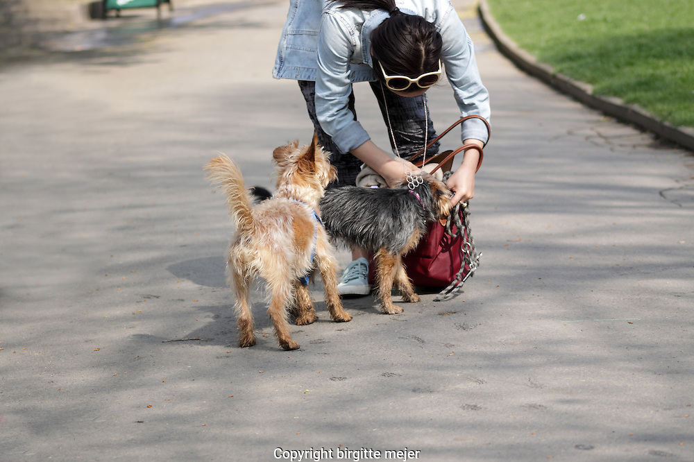Woman standing in a Park looking in her handbag for Dog treats, while her 2 small mixed breed dogs, one mustard and one black colored looking interested